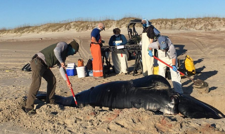 Rare right whale discovered stranded on North Carolina beach