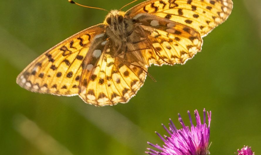 Photographer to capture images of significant endangered butterflies flying to the flowers