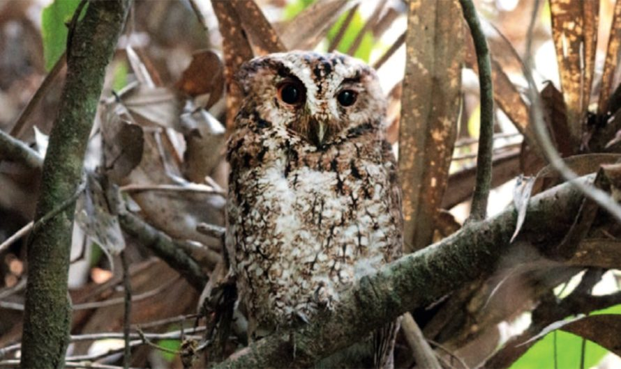 Rare orange-eyed owl spotted for the first time in more than 125 years